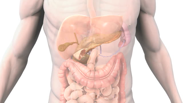 a zoom in on the digestive system within a transparent male torso which all fade down leaving the anatomy of the pancreas and gallbladder. - ileum stock videos & royalty-free footage