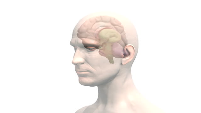 a zoom in on the head of a male which fades down revealing the brain with the left hemisphere faded down which then fully rotates in an anti-clockwise motion. - midbrain stock videos & royalty-free footage