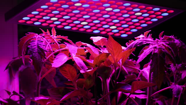 zoom in on tomato plants growing under uv led lights - led stock videos & royalty-free footage
