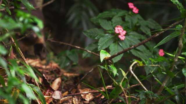 zoom in rack focus slow motion dense jungle floor with a capuchin monkey, - 2013 stock videos & royalty-free footage