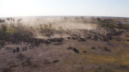 Zoom in rear aerial view of tourists in a 4x4 off-road safari vehicle watching an extremely large herd of Cape buffalo walking in the Okavango Delta, Botswana
