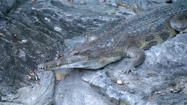 zoom in siamese crocodile camouflage on the rock - disguise stock videos & royalty-free footage