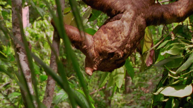 PAN zoom in three toed sloth moving between trees in rain forest / Tambopata, Peru