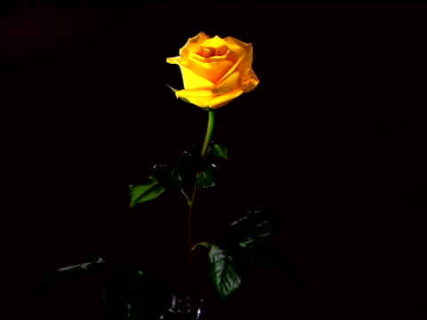vídeos de stock e filmes b-roll de zoom in to a close-up of a single yellow rose against a black background. - caule de planta