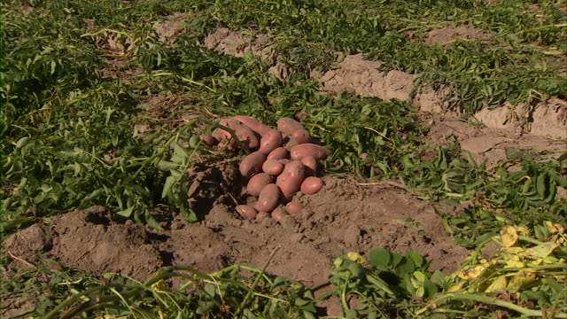 zoom in to a pile of potatoes in a field. - raw potato stock videos & royalty-free footage