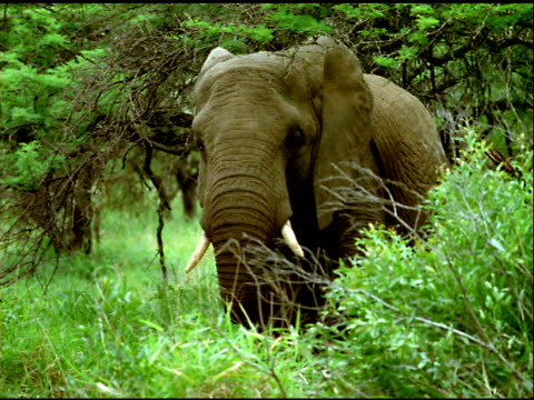 zoom in to african elephant in forest clearing, south africa - animal nose stock videos & royalty-free footage