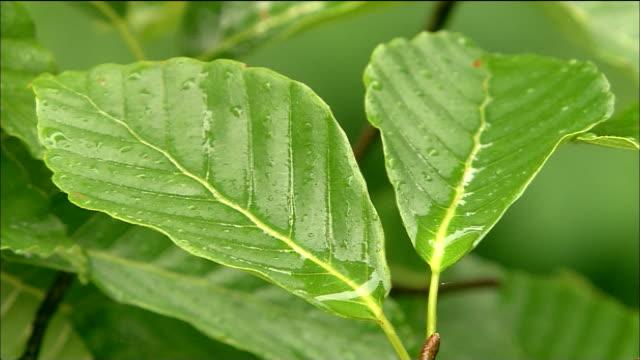 zoom in to beech leaves collecting rain water, shirakami mountains, akita, aomori, japan - heranzoomen stock-videos und b-roll-filmmaterial