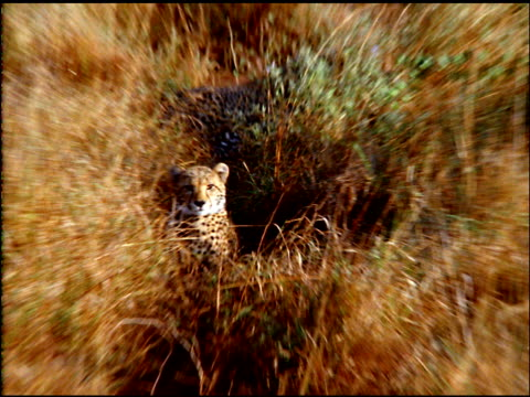 zoom in to cheetah in grass, botswana - postura video stock e b–roll