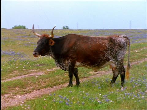 stockvideo's en b-roll-footage met zoom in to close up of longhorn cow standing in field of flowers chewing / texas - texas longhorn