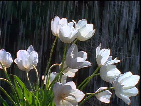 vídeos de stock e filmes b-roll de zoom in to close up white tulips in rain - 1997
