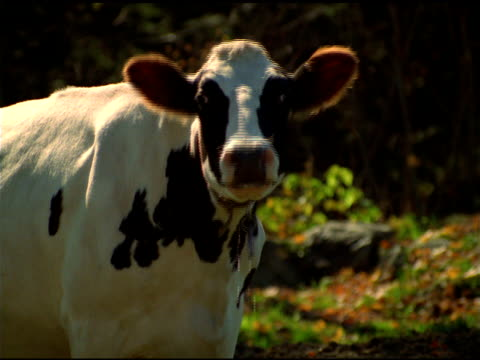 Zoom in to cow's face as it looks at camera, moos then walks away, Waterbury, Vermont