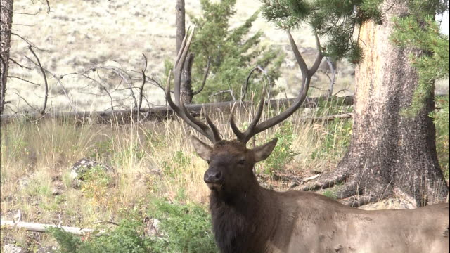 zoom in to elk standing in forest clearing then walking off, yellowstone national park, wyoming - ヘラジカ点の映像素材/bロール