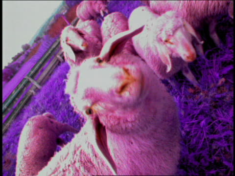 zoom in to extreme close up sheep sniffing camera with herd in background / munich, germany - tierische nase stock-videos und b-roll-filmmaterial