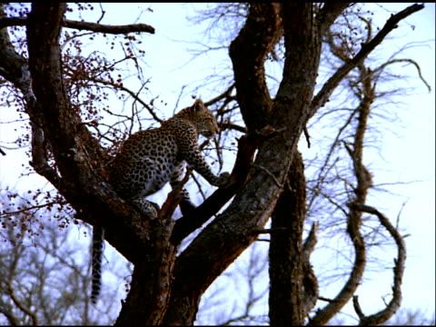 vídeos y material grabado en eventos de stock de zoom in to leopard sitting in tree, botswana - postura