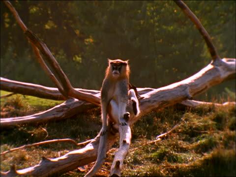 zoom in to monkey sitting on branch scratching - 一匹点の映像素材/bロール