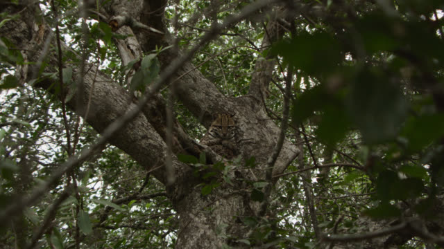 zoom in to ocelot (leopardus pardalis) resting in tree. - south america stock videos & royalty-free footage