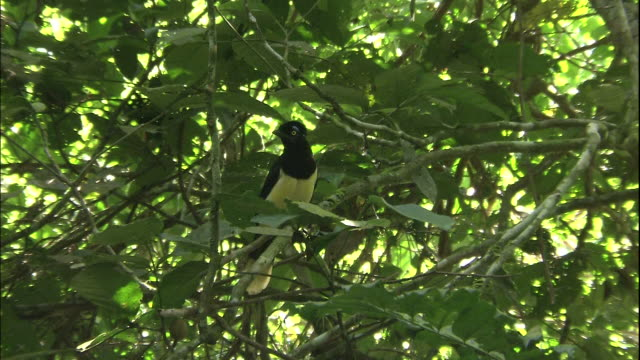 Zoom in to plush-crested jay (cyanocorax chrysops) in tree, Iguazu National Park, border of Brazil and Argentina