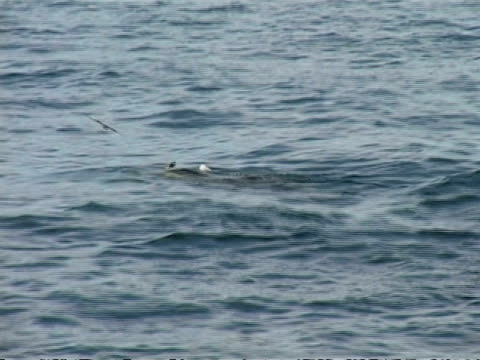 WA zoom in to MS pod of Killer Whales(Orcnius orca) swimming along surface of sea, surface blowing, Antarctica