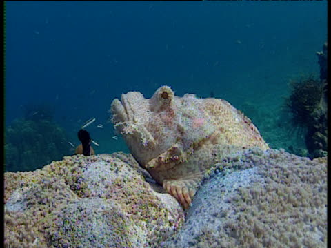 zoom in to red eye of predatory camouflaged scorpionfish on reef, sulawesi - wirbelloses tier stock-videos und b-roll-filmmaterial