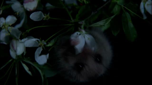 zoom in to upside down dormouse eating blossom, yatsugatake mountains, nagano - morrhår bildbanksvideor och videomaterial från bakom kulisserna