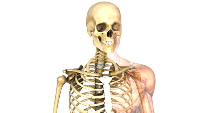 vídeos y material grabado en eventos de stock de a zoom out and pan from left to right of the male skeletal system over which the  muscle system fades up from right to left. - caja torácica humana