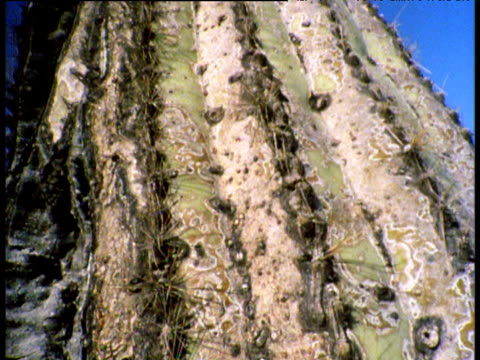 "vidéos et rushes de zoom out and tilt up huge saguaro cactus, blue sky in background, arizona - ""bbc natural history"""