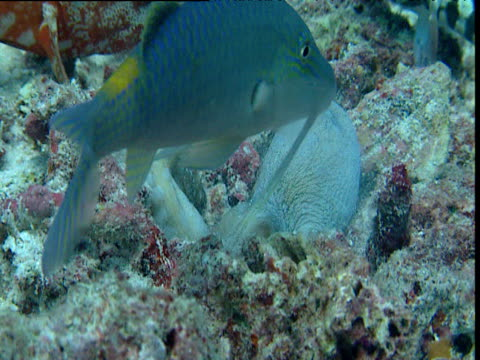 Zoom out as goatfish swims round octopus digging in coral before octopus changes colour and swims away, Sipadan