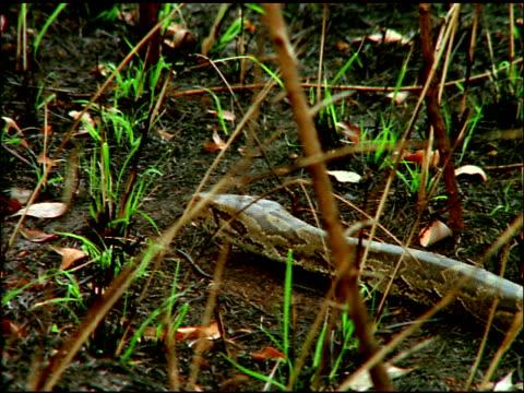 vídeos de stock, filmes e b-roll de zoom out as python slithers along forest floor, botswana - parte do corpo animal