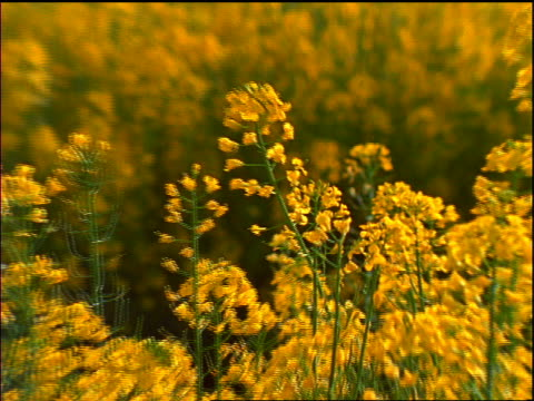 zoom out  field of yellow wildflowers