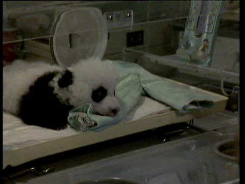 stockvideo's en b-roll-footage met zoom out from baby giant panda in incubator at wolong giant panda breeding centre - 1992