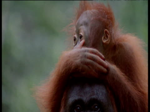 Zoom out from baby Orang utan to show it balanced on mother's head, Camp Leaky, Borneo
