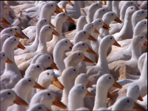 zoom out from close up of flock of white geese walking / Brazil