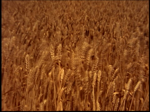 zoom out from close up of golden wheat field blowing in wind / Brazil