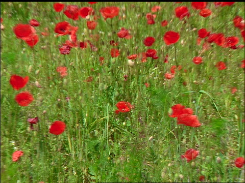 zoom out from close up of red poppy to wide shot of field of poppies / faborg, fyn, denmark - poppy plant stock videos and b-roll footage