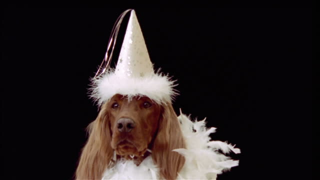 Zoom out from close-up of Irish setter wearing party hat and feather boa in black studio / zoom back in