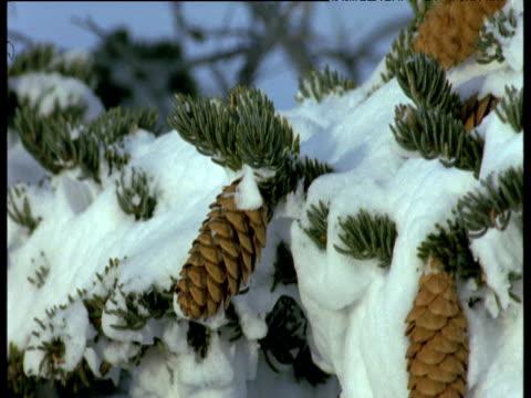 vídeos y material grabado en eventos de stock de zoom out from cones on branch laden with snow, churchill - piña de piñones