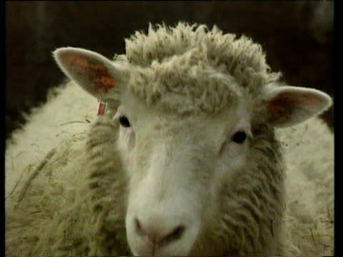 zoom out from dolly the cloned sheep in pen as she approaches camera; 27 feb 97 - cloning stock videos & royalty-free footage