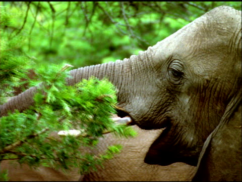 stockvideo's en b-roll-footage met zoom out from elephant eating leaves to small herd of elephants doing same thing in small forest clearing, south africa - neus van een dier