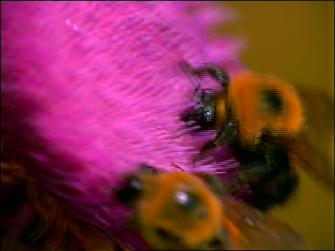 vidéos et rushes de zoom out from extreme close up of 2 bees on pink flower - étamine