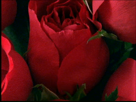 zoom out from extreme close up of bunch of red roses