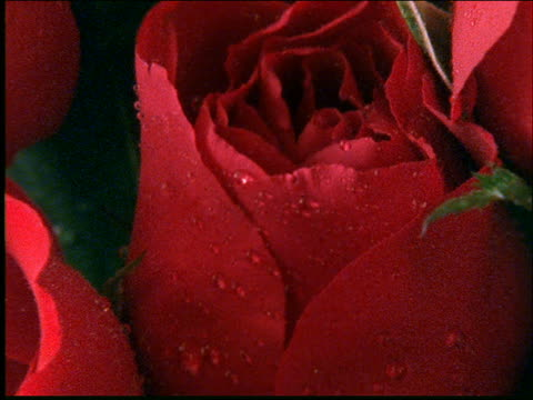 zoom out from extreme close up of bunch of red roses with water drops
