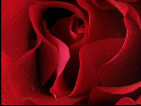 vídeos y material grabado en eventos de stock de zoom out from extreme close up of red rose - una rosa