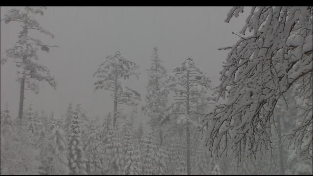 Zoom out from forest in blizzard on Mount Yatsugatake in Chubu Mountains