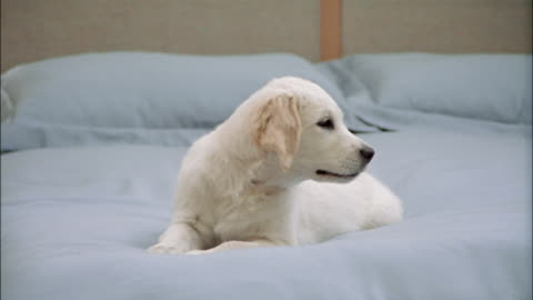 vidéos et rushes de zoom out from golden retriever puppy lying on top of bed with blue comforter / getting down off bed - chiot