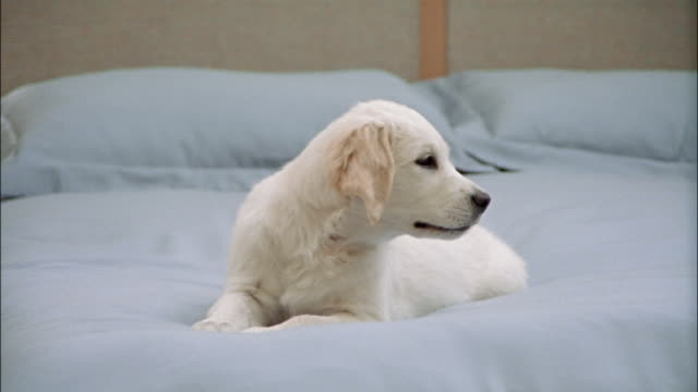zoom out from golden retriever puppy lying on top of bed with blue comforter / getting down off bed - golden retriever stock videos and b-roll footage