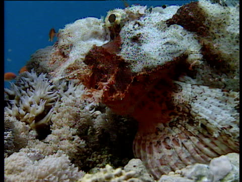 Zoom out from head of camouflaged stonefish as it lumbers over coral reef towards orange fish