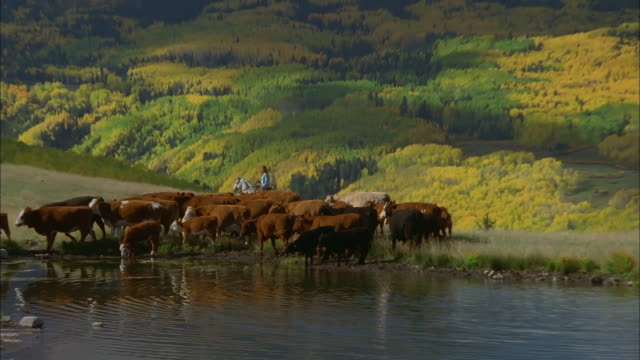 zoom out from herd of cows and cowboys crossing large lake to colorado mountains, telluride available in hd. - herd stock videos & royalty-free footage