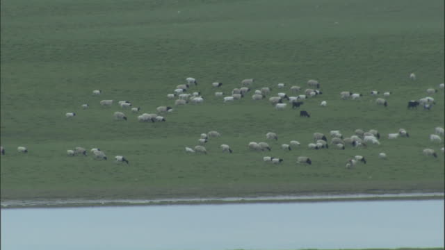 Zoom out from herd of sheep grazing on grassland as river meanders through it, Bayanbulak grasslands.