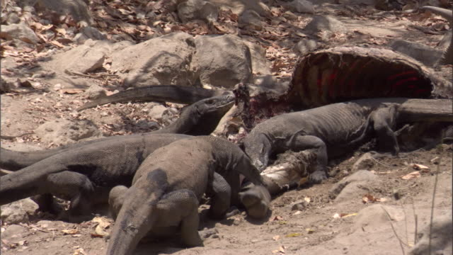 zoom out from komodo dragons eating buffalo carcass available in hd