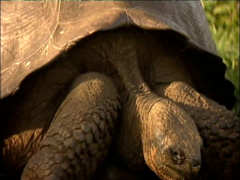 zoom out from last pinta island tortoise 'lonesome george' at charles darwin research station - galapagosinseln stock-videos und b-roll-filmmaterial